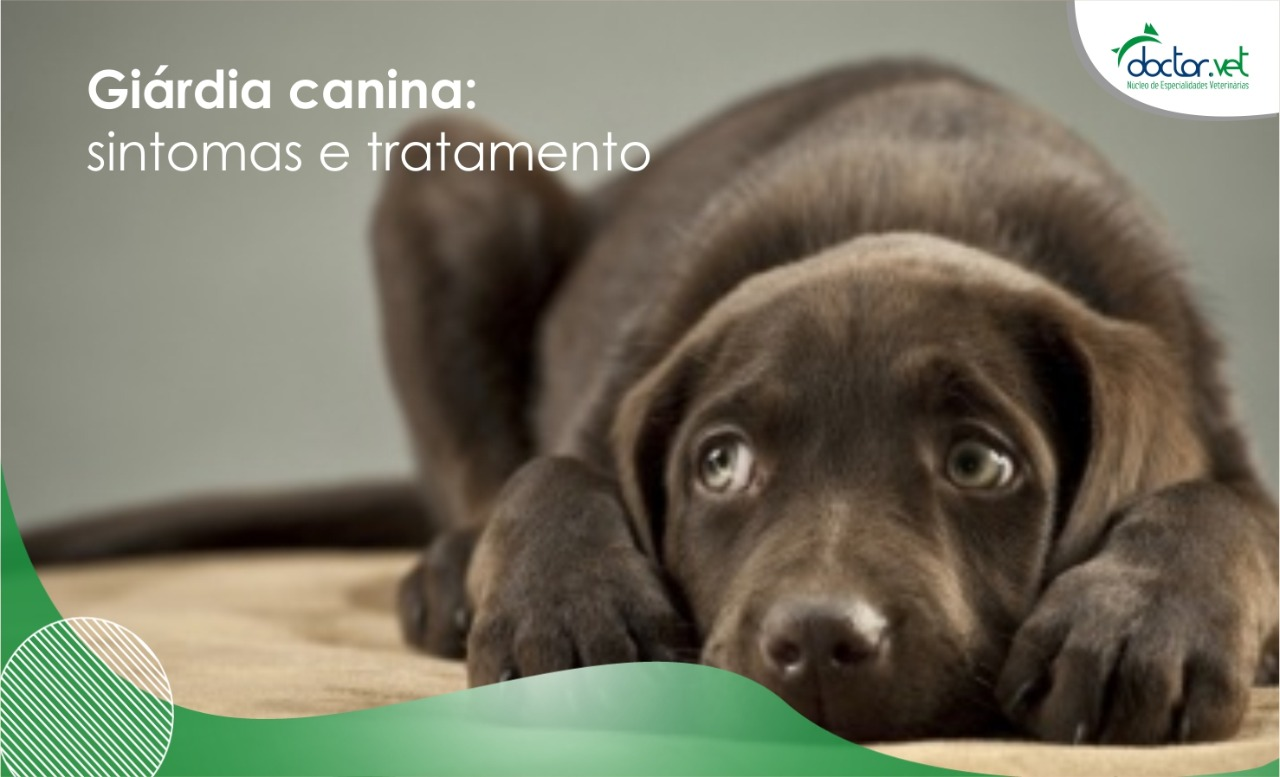 Giardia sintomas caes - primariacetateni.ro Giardia canina o que e
